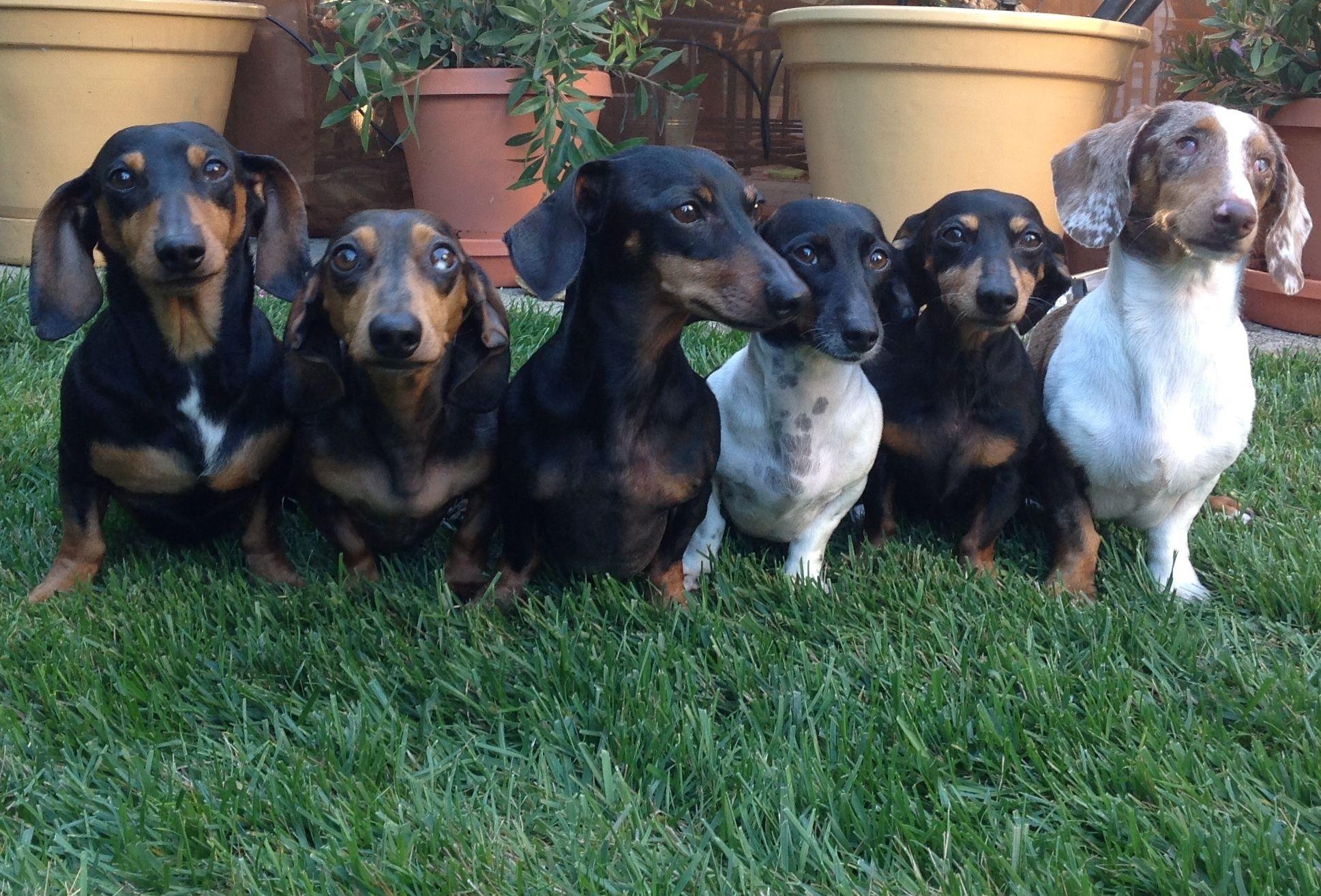 My Pack Doxie Puppies Dachshund Wiener Dog