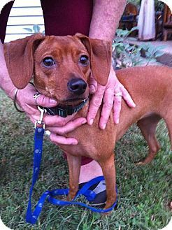 Lovables: Bardstown, KY - Dachshund/Chihuahua Mix. Meet Lady a Dog for Adoption.