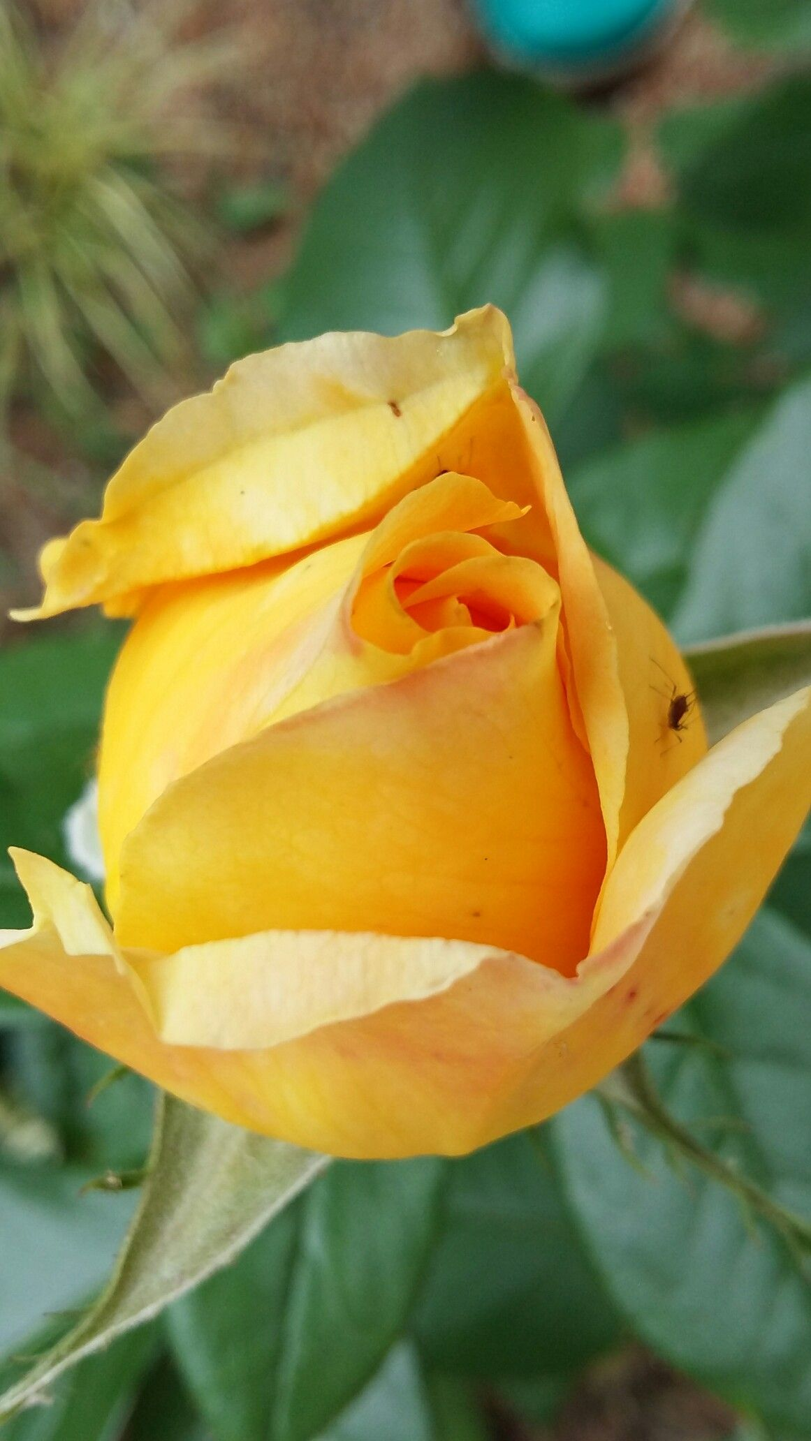 Candlelight in bud my rose garden pinterest garden bud and rose