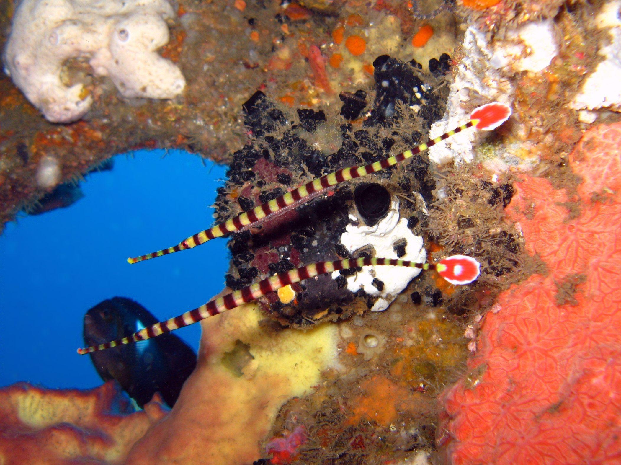 Broadbanded Pipefish (Dunckerocampus dactyliophorus
