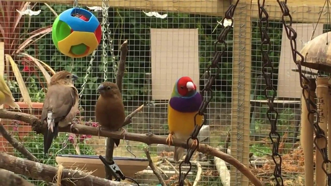 Pin by Chronic Fatigue Syndrome/M.E. on GOULDIAN FINCHES