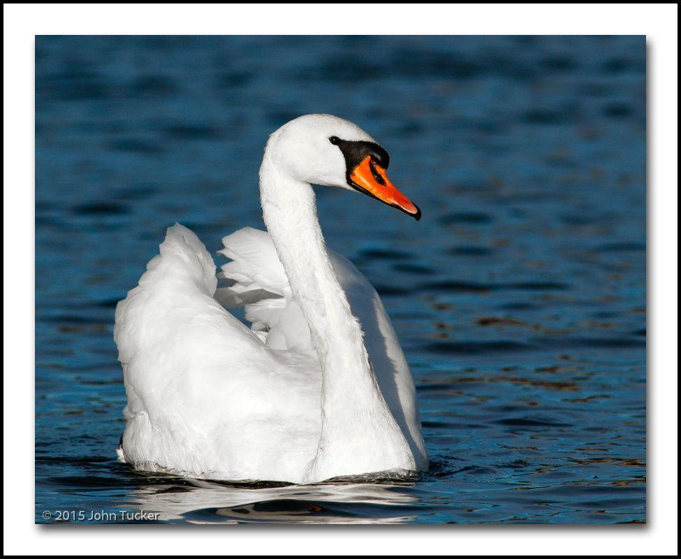 Portrait of a Mute Swan by John Tucker on 500px