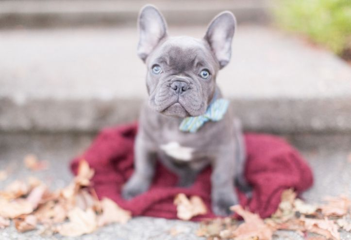 Bleu Moon The French Bulldog Produced By Fowers Frenchies In Utah