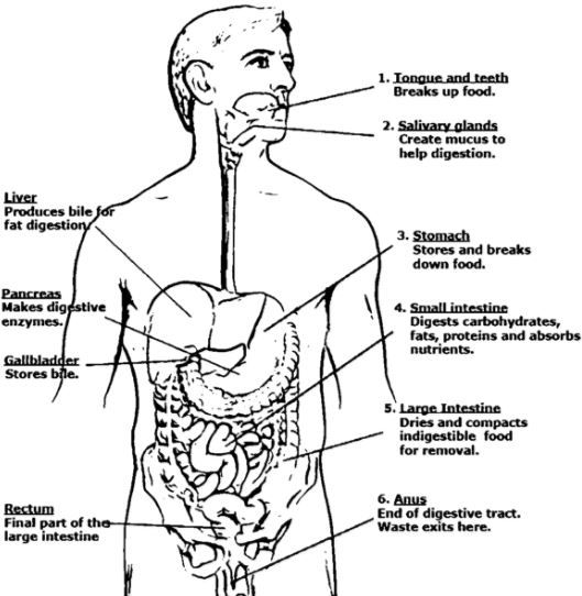 digestive system coloring page full
