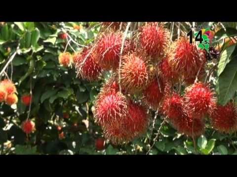 El Rambután, un fruto que cambio a todo un pueblo, Sin Límites, programa #60. - YouTube