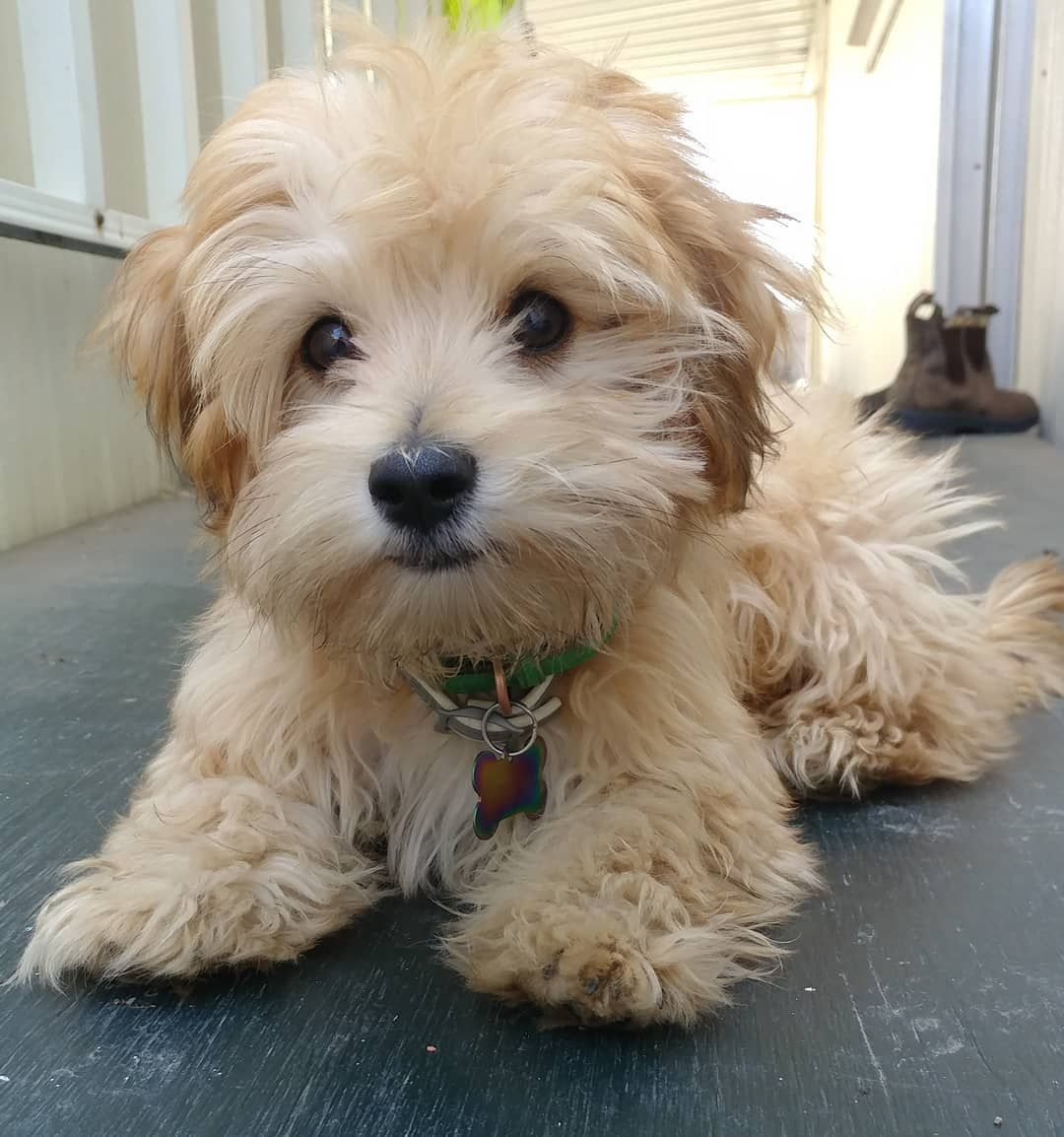 All About The Morkie (The Maltese Yorkshire Terrier Mix