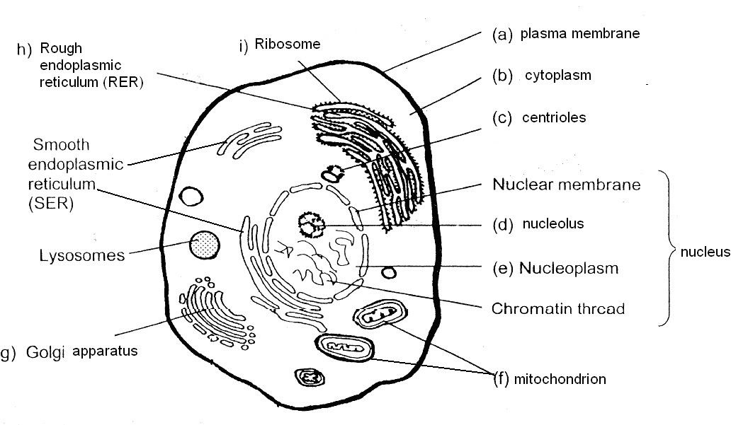 Plant Cell Black and White Awesome Poonchengmoh Animal