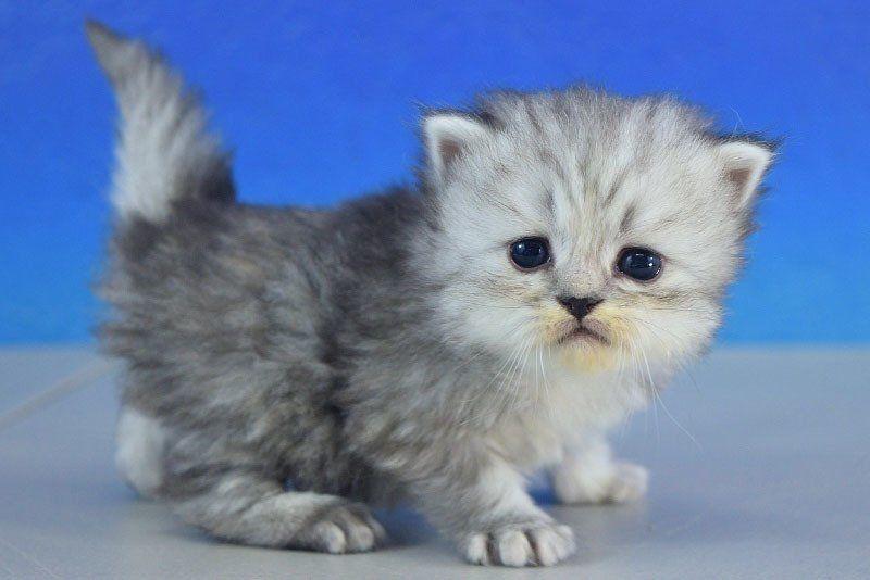 Delight Silver Tabby Female Ragamuffin Kitten Ragamuffin Kittens Russian Blue Russian Blue Cat