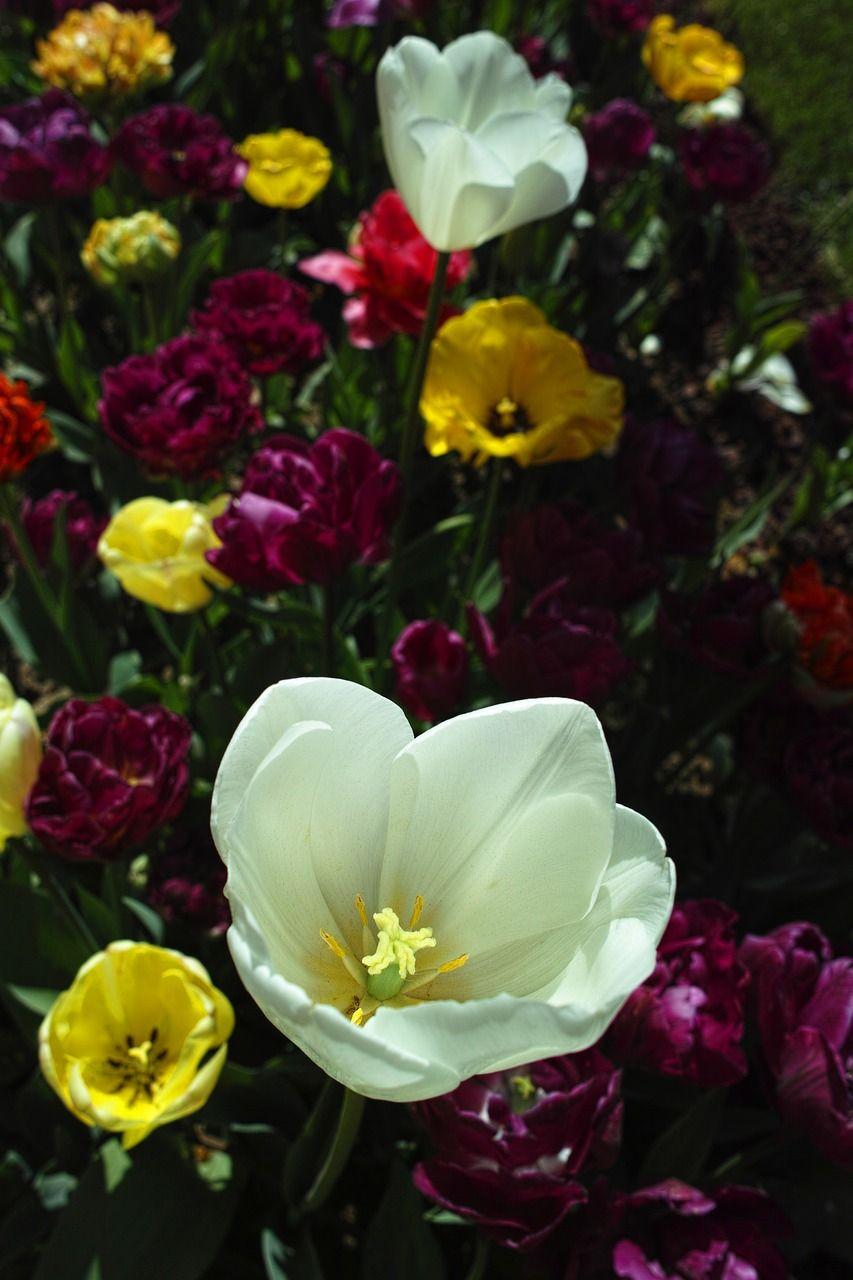 Park Tulips White Flower Purple Tree Park Tulips White