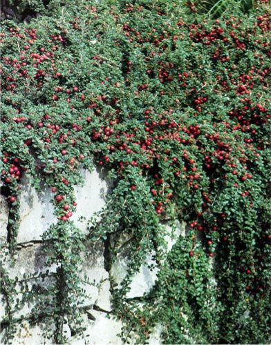 Cotoneaster 'bealei'