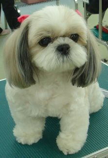 Audrey Http Puppies Host Puppies Big Dog Little Dog Shih Tzu Cute Dogs