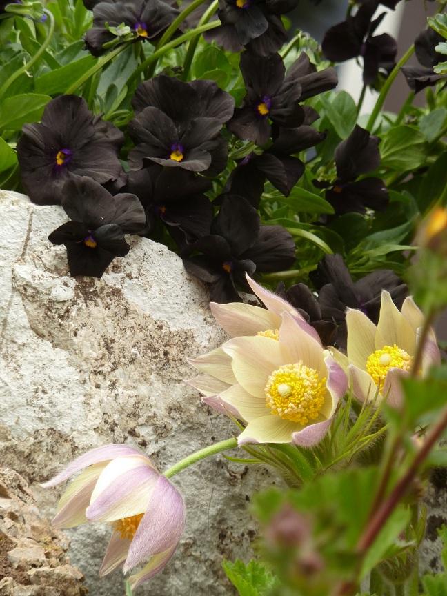 "Pulsatilla patens var. flavescens und Viola cornuta ""Molly Sanderson"""
