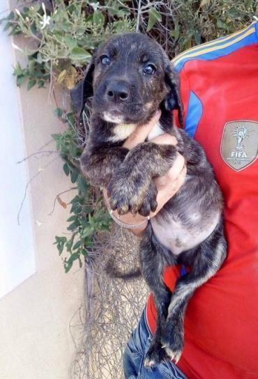 Hund Welpe, Deutsche Dogge (Mischling, Rüde, 2 Monate