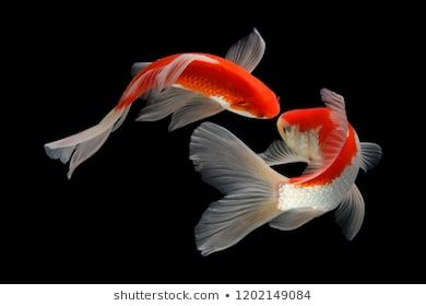 Photo of Koi Fish Black and White Stock Photos, Images & Photography