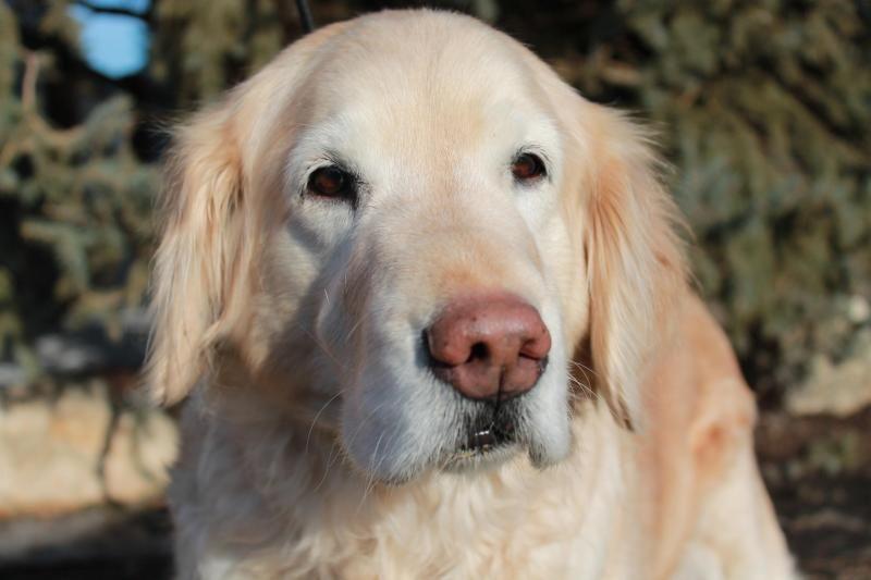 Adopt Samantha Golden Years On Dogs Golden Retriever Animals Dogs