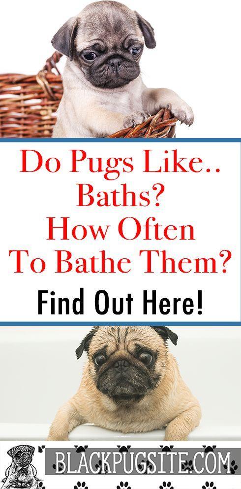 Do Pugs like baths and how often to bathe your Pug
