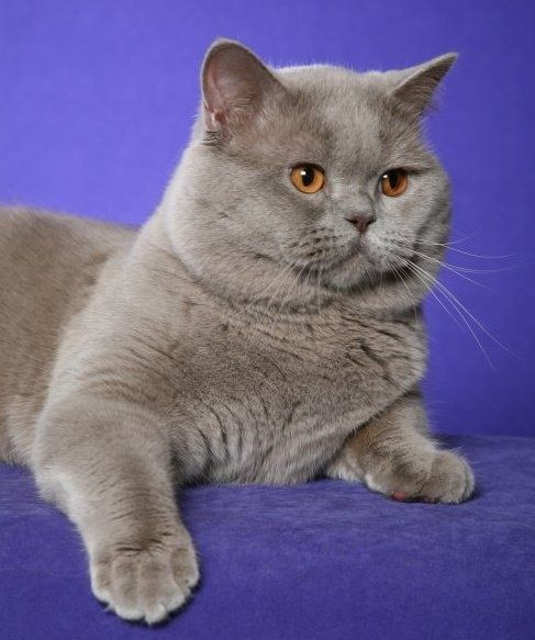 Blue Male British Shorthair Cats Cats Kittens