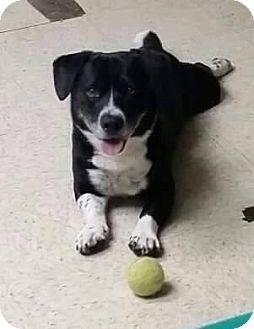 Youngstown Oh Basset Hound Border Collie Mix Meet Vinnie A Dog For Adoption Basset Hound Mix Basset Hound Dog Adoption