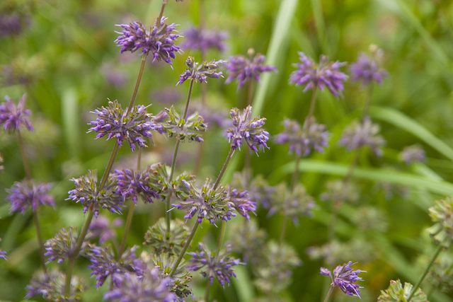 Salvia purple rain by sweber4507, via Flickr