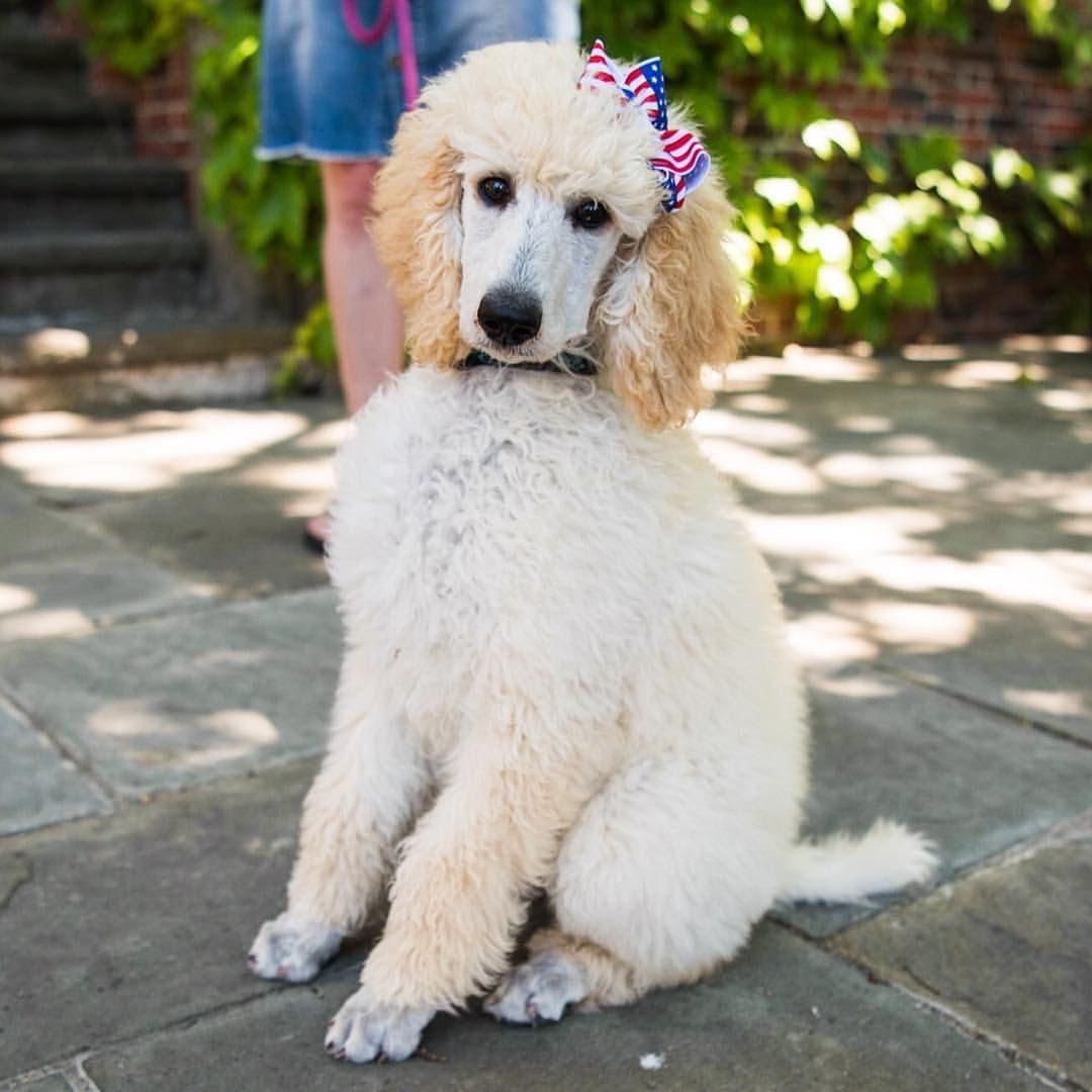 Scout The Name Of This Gorgeous 3 Month Old Standard Poodle Puppy