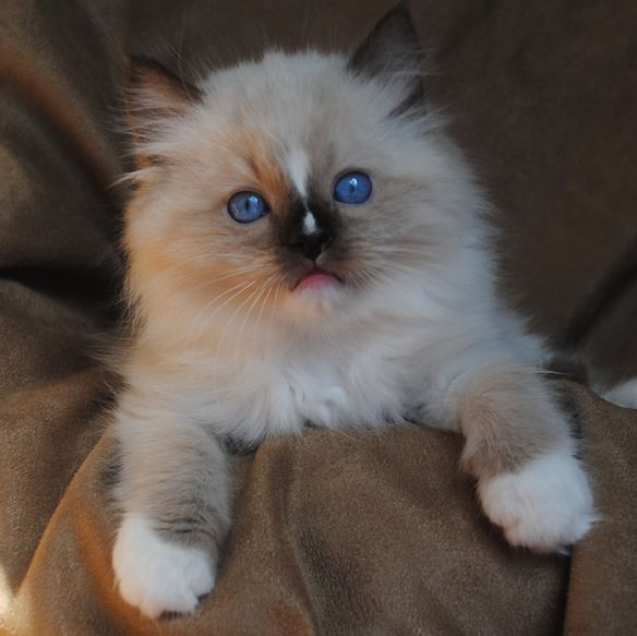 Seal Mitted Ragdoll Kitten With Nose Blaze Cats Kittens