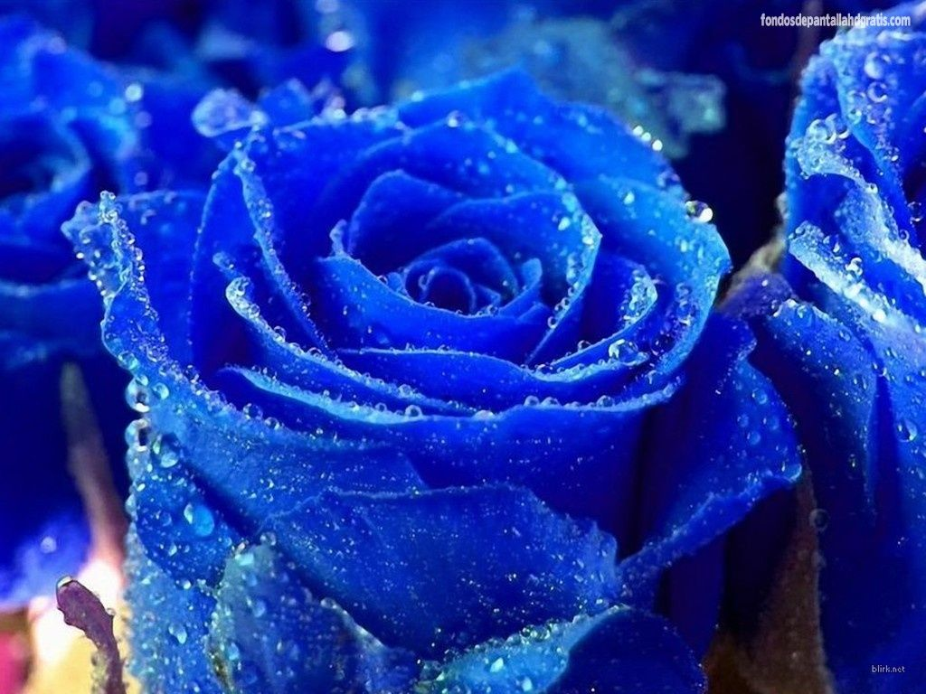Plantas flores flower pinterest blue roses and flowers garden plants with blue flowers free wallpaper beautiful black and white flowers pictures red yellow roses wallpaper hd free izmirmasajfo