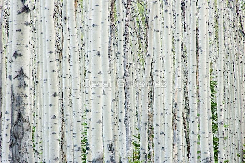 White Birch Tree Forest Canvas Print White birch trees