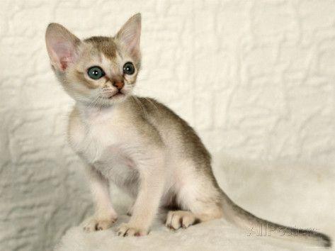 Singapura Kitten American Bobtail Cat Cat Breeds Singapura Cat