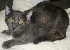 Adopt Gunga Din On Petfinder Tortoise Shell Cat Cats Kittens