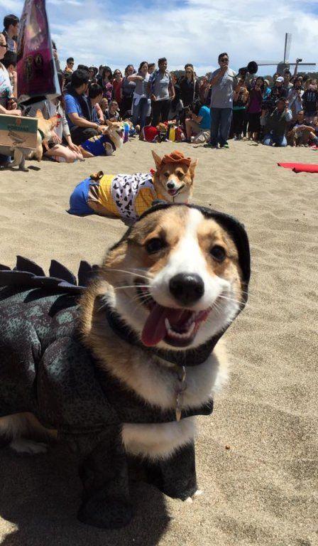 Corgi Con Adorable Dogs Gather For San Francisco Beach Party Corgi Corgi Dog Cute Dogs