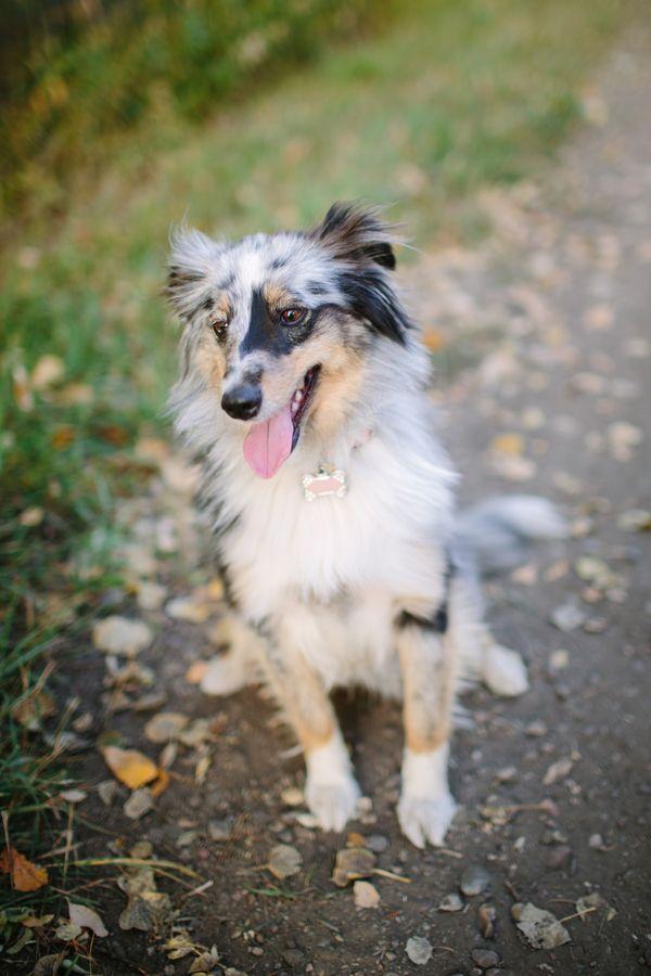 Happy Tails Texx And Razz Daily Dog Tag Australian Shepherd Aussie Dogs Dogs