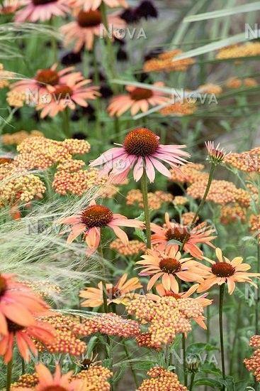 Impression with Echinacea Sundown and Achillea millefolium - Media Database