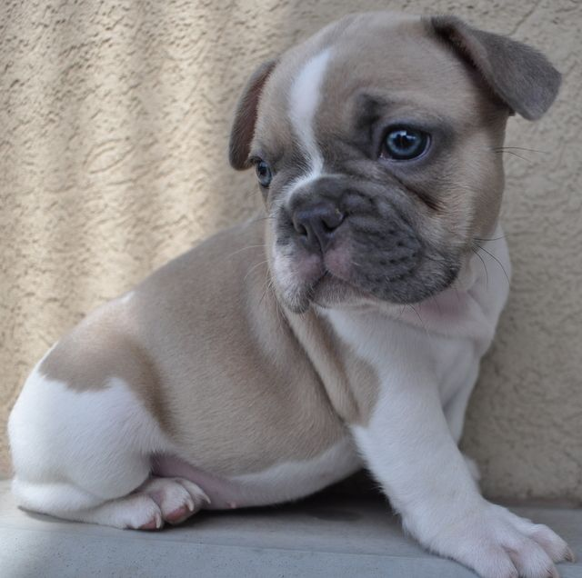 Blue Fawn Pied French Bulldog Pied French Bulldog French
