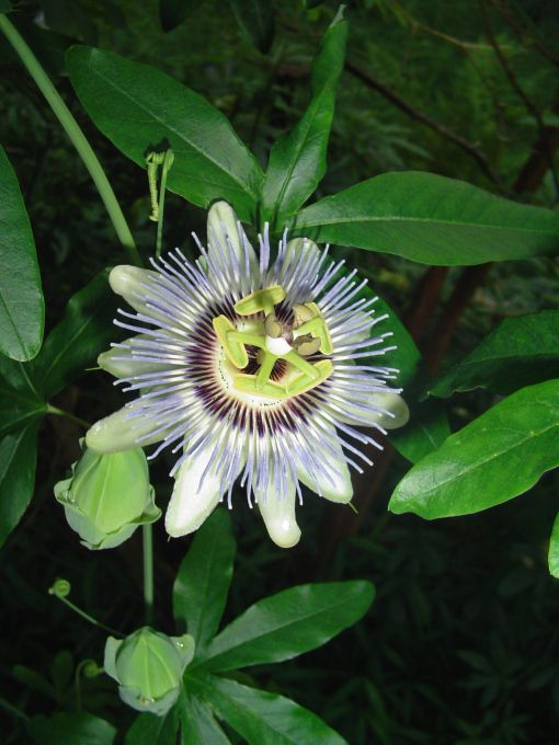 Pin Op Passion Flowers