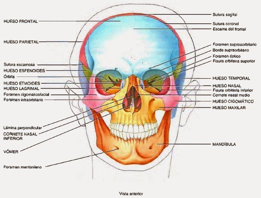 Cráneo huesos vista frontal - Skull bones front view | anatomy ref ...