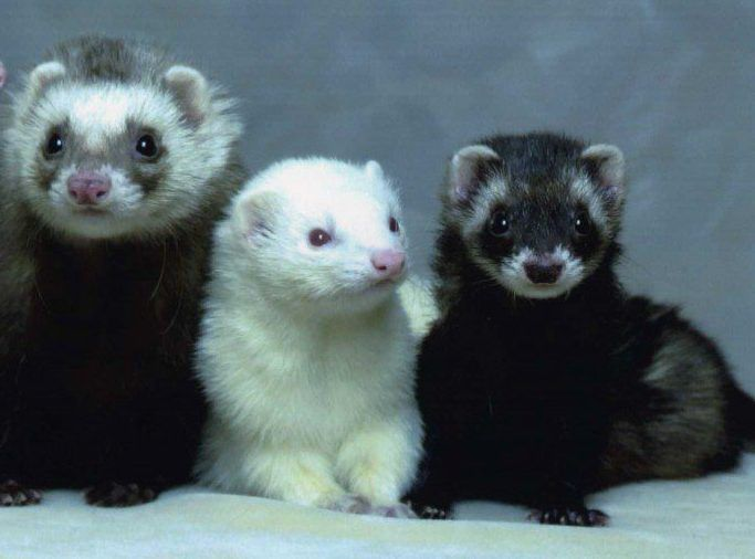 Ferret Facts For Kids And Adults Animals For Kids Cute Ferrets