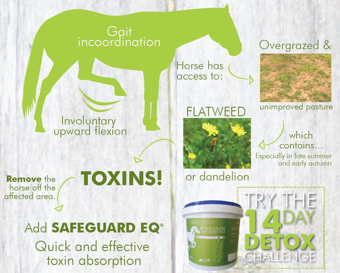 Stringhalt - flow chart - toxins - horse - flatweed