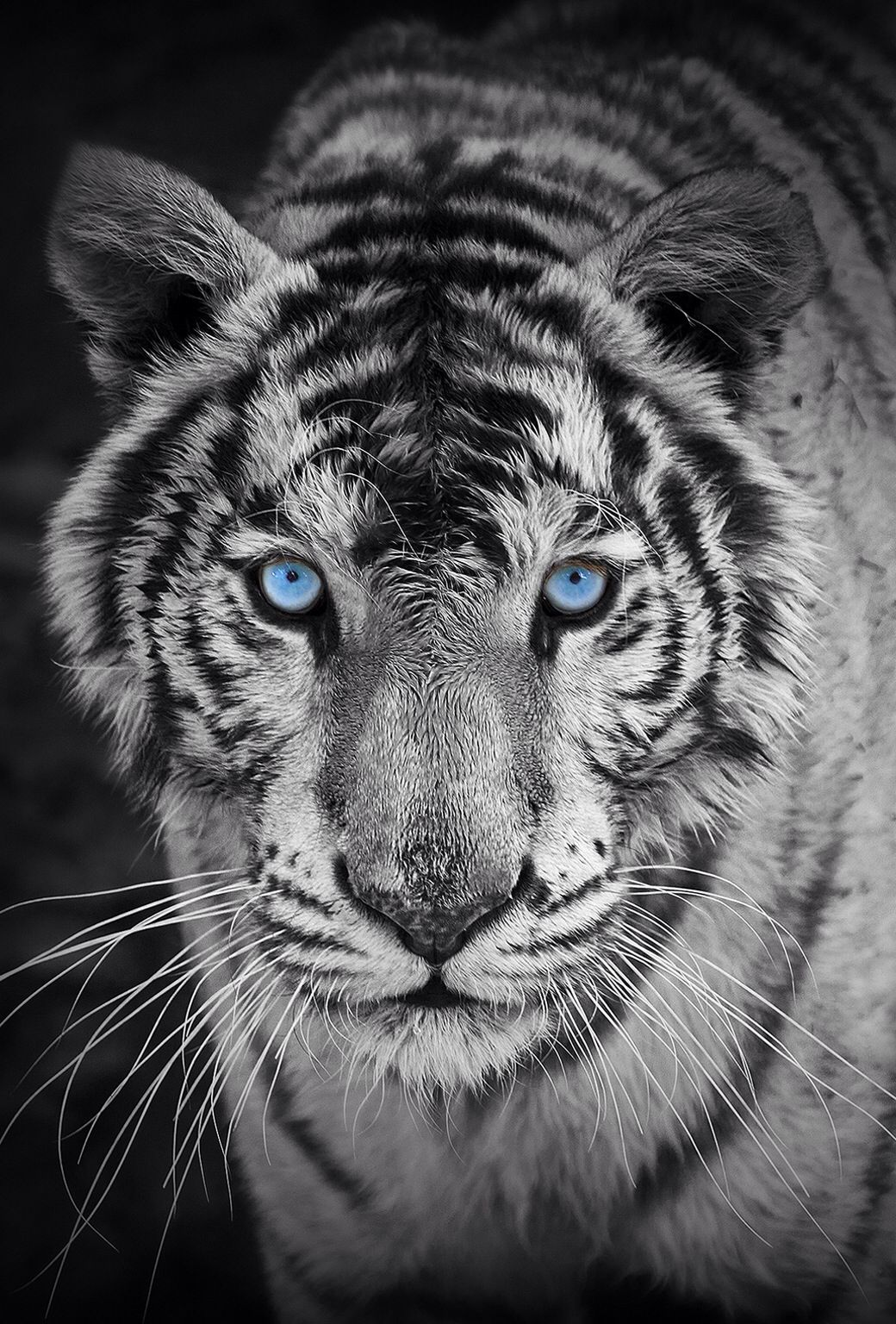 white tiger. so beautiful | iphone wallpapers | pinterest | tigers