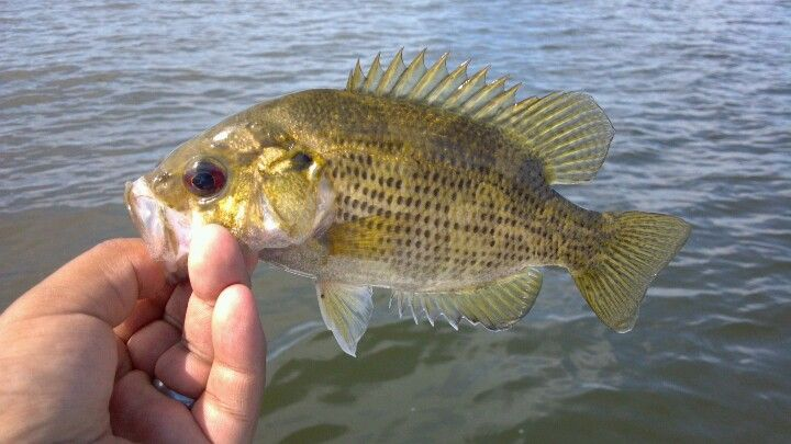 Baby Rock Bass Fish Pet Fishing Pictures Rock Baby