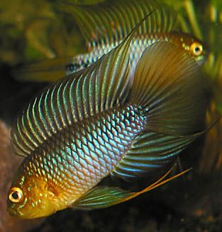 """Apistogramma borellii (Umbrella Cichlid) - ~2.5"""" dwarf cichlid from Rio Paraguay and lower Rio Paraná basins in southern Brazil, Paraguay and northern Argentina, can tolerate cooler and harder waters than most apistos"""