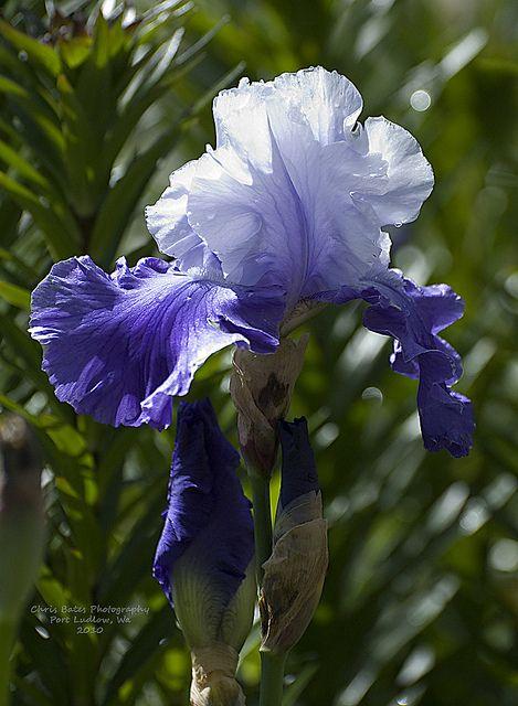 Blue White Iris Iris Flowers Iris Garden Bearded Iris