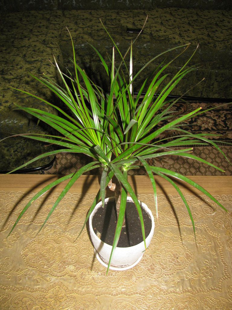 Is it true that dracaena poisonous to cats and dogs is Houseplants not toxic to cats