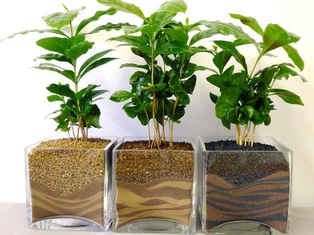 Live Indoor Plant in Growers Pot Diameter 12 cm Coffee Plant Height 25 cm Choice of Green Quality from Holland Fresh from The Grower Set of 4 Coffea Arabica in