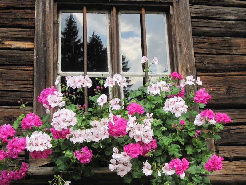 Martha S Vienna Austria S Geranium Window Boxes