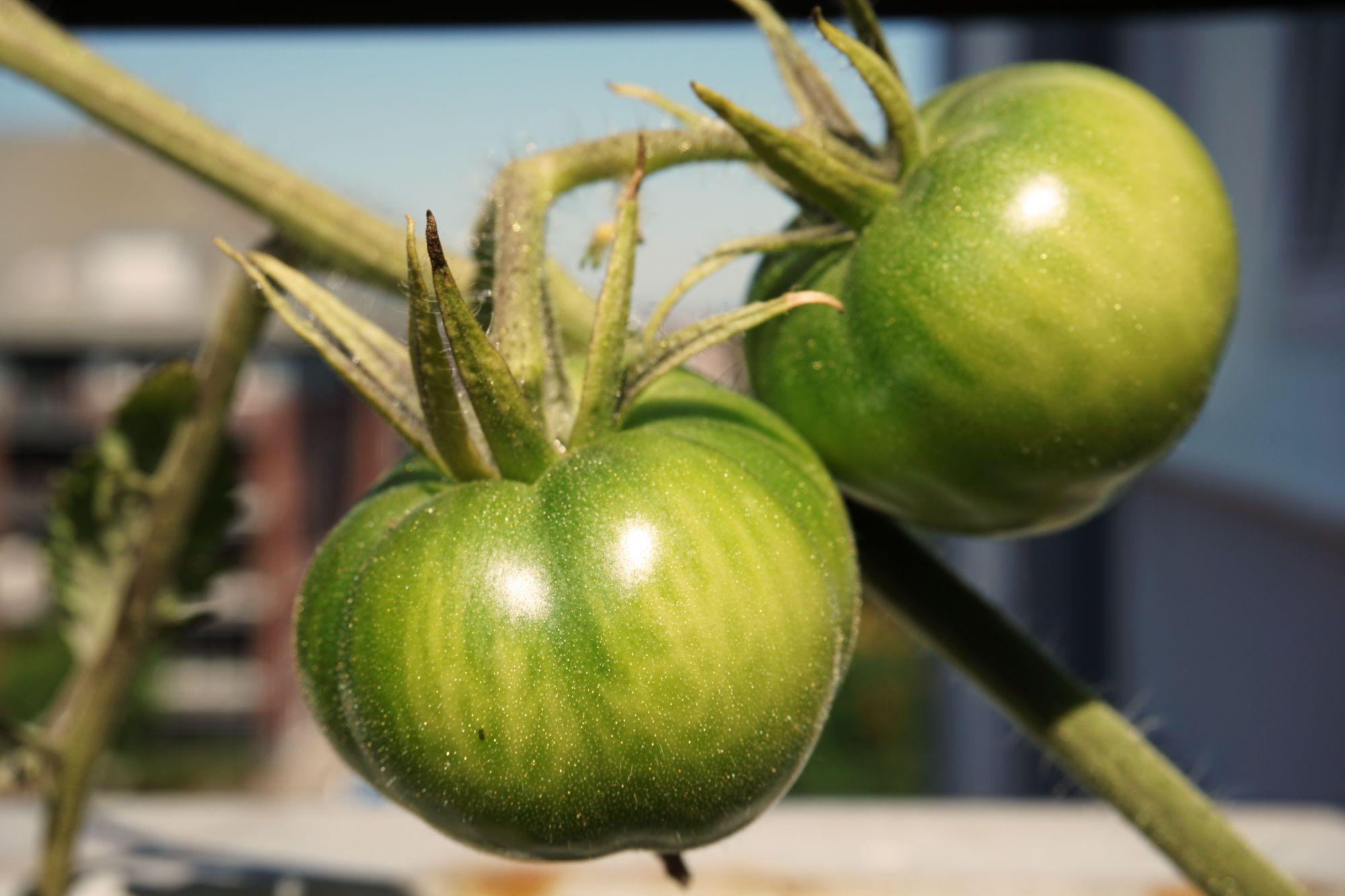 Was Mache Ich Wenn Meine Tomaten Nicht Rot Werden Tomaten Fruchte Ernte
