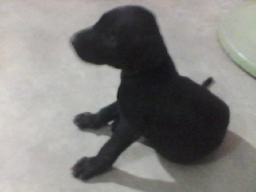 3 Weeks Labrador Pup For Sale Karachi For More Information Visit Our Site Post Free Ads Pakistan Labrador Puppies