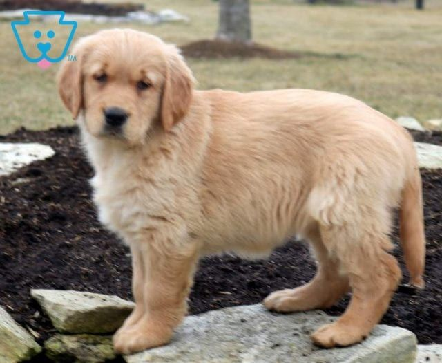 Dodger Puppies4me Retriever Puppy Puppies Puppies For Sale