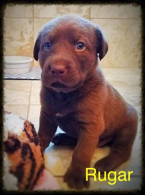 Labrottie Dog For Adoption In St George Ut Adn 540031 On