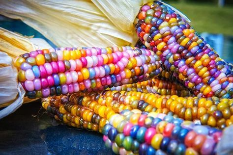 15 MEDIUM Mixed Colors GLASS GEM CORN Ornamental Edible Zea Mays Vegetable Seeds *Flat Shipping