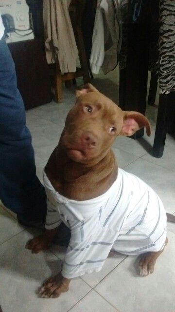 Chubik es un pitbull red nose hermoso